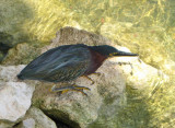 Green Heron - Butorides virescens
