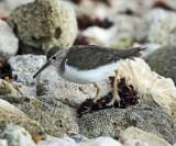 Spotted Sandpiper - Actitis macularius