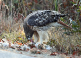 Red-tailed Hawk - Buteo jamaicensis (feeding on a rabbit)