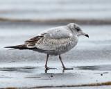 Herring Gull - Larus argentatus (immature)