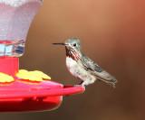 Calliope Hummingbird - Selasphorus calliope