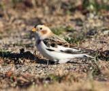 Snow Buntings - genus Plectrophenax