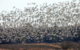 Snow Geese - Chen caerulescens
