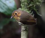 Ochre-breasted Antpitta - Grallaricula flavirostris