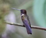 Brown Inca - Coeligena wilsoni