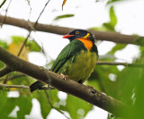 Orange-breasted Fruiteater - Pipreola jucunda