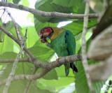 Rose-faced Parrot - Pyrilia pulchra