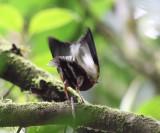 Club-winged Manakin - Machaeropterus deliciosus