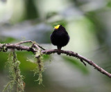 Golden-winged Manakin - Masius chrysopterus