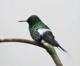 Green Thorntail - Discosura conversii