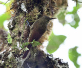 Spotted Woodcreeper - Xyphorhynchus erythropygius