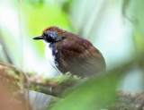 Bi-colored Antbird - Gymnopithys leucaspis