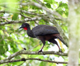 Crested Guan - Penelope purpurascens