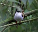 White-bearded Manakin - Manacus manacus