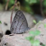 Cucullina Ringlet - Hermeuptychia cucullina