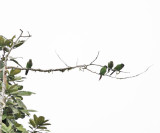 Maroon-tailed Parakeet - Pyrrhura melanura