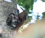 Strong-billed Woodcreeper - Xiphocolaptes promeropirhynchus
