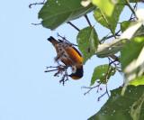 Orange-crowned Euphonia - Euphonia saturata