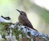 Plain-brown Woodcreeper - Dendrocincla fuliginosa