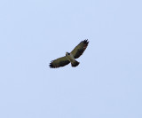 Short-tailed hawk - Buteo brachyurus