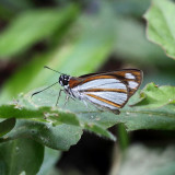 Coryna Skipper - Vettius coryna