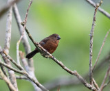 Thick-billed Seed Finch - Oryzoborus funereus (female)