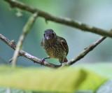 Olive-striped Flycatcher - Mionectes olivaceus