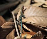 Seven-lined Ameiva (Juvenile) - Ameiva septemlineata