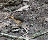 Buff-rumped Warbler - Phaeothlypis fulvicauda