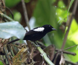 White-shouldered Tanager - Tachyphonus luctuosus