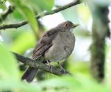 Ecuadorian Thrush - Turdus maculirostris