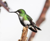 Green Thorntail - Discosura conversii (female)