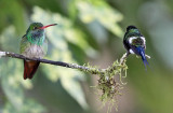 Rufous-tailed Hummingbird & Green Thorntail