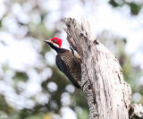 Guayaquil Woodpecker - Campephilus gayaquilensis (female)