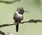 Purple-throated Woodstar - Calliphlox mitchellii