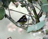 Blackburnian Warbler - Dendroica fusca