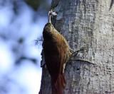 Montane Woodcreeper - Lepidocolaptes lacrymiger