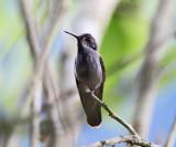 Brown Violetear - Colibri delphinae