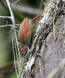 Red-faced Spinetail - Cranioleuca erythrops