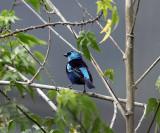 Blue-necked Tanager - Tangara cyanicollis