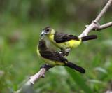 Lemon-rumped Tanager - Ramphocelus icteronotus (female feeding young)