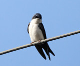 Blue and White Swallow - Notiochelidon cyanoleuca