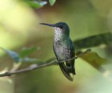 White-necked Jacobin - Florisuga mellivora (female)