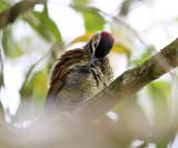 Golden-olive Woodpecker - Colaptes rubiginosus