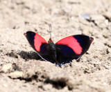Red-patched Leafwing - Siderone syntyche