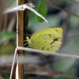 Mimosa Yellow -  Pyrisitia nise