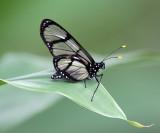 Giant Glasswing -  Methona confusa