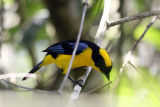 Blue-winged Mountain Tanager - Anisognathus somptuosus
