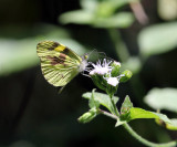 Medora Mimic White - Dismorphia medora
