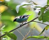 Metallic-green Tanager - Tangara labradorides